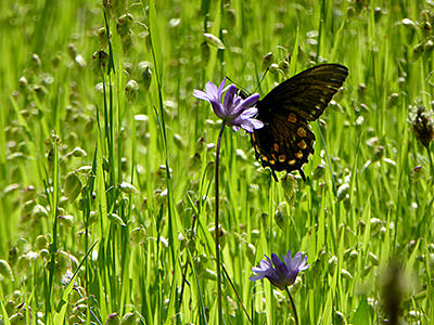 Thumbnail image of A Swallowtail Butterfly on a Blue Dicks flower.