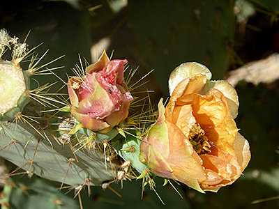 Thumbnail image ofA bee inside a Prickly pear cactus flower.
