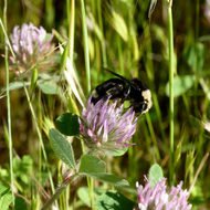 A bumblebee on a clover flower.