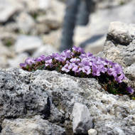 Purple flowers in the Dolomites.