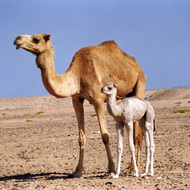 Mother and Baby Camel - Ras al Junayz, Oman.