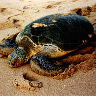Green Sea Turtle - Ras Al Junayz, Oman.