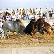 Bullfight - Barka, Oman