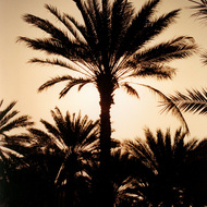 Date Palms at Dusk - Fanjah, Oman