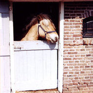 Horse in Stable - the Netherlands