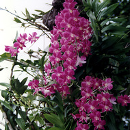 Orchids Growing at the Rose Garden - Nakorn Pathom, Thailand