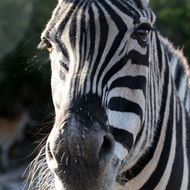 Damaraland Zebra, Natural Bridge Wildlife Ranch - Garden Ridge, Texas