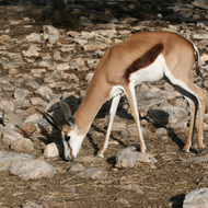Springbok Antelope, Natural Bridge Wildlife Ranch - Garden Ridge, Texas