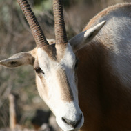 Scimitar Horned Oryx, Natural Bridge Wildlife Ranch - Garden Ridge, Texas