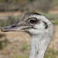 Rhea, Natural Bridge Wildlife Ranch - Garden Ridge, Texas