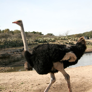 Ostrich, Natural Bridge Wildlife Ranch - Garden Ridge, Texas