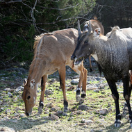 Nilgai, Natural Bridge Wildlife Ranch - Garden Ridge, Texas
