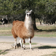 Llama, Natural Bridge Wildlife Ranch - Garden Ridge, Texas