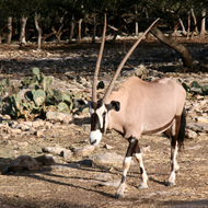 Gemsbok Oryx, Natural Bridge Wildlife Ranch - Garden Ridge, Texas