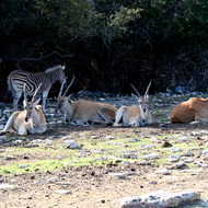 Eland Antelope, Natural Bridge Wildlife Ranch - Garden Ridge, Texas