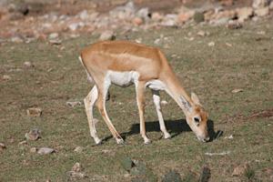Thumbnail image ofBlack Buck Antelope, Natural Bridge Wildlife Ranch...