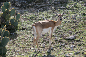 Thumbnail image of Black Buck Antelope, Natural Bridge Wildlife Ranch...