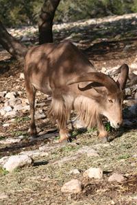 Thumbnail image ofBarbary Sheep, Natural Bridge Wildlife Ranch -...