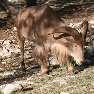 Barbary Sheep, Natural Bridge Wildlife Ranch - Garden Ridge, Texas