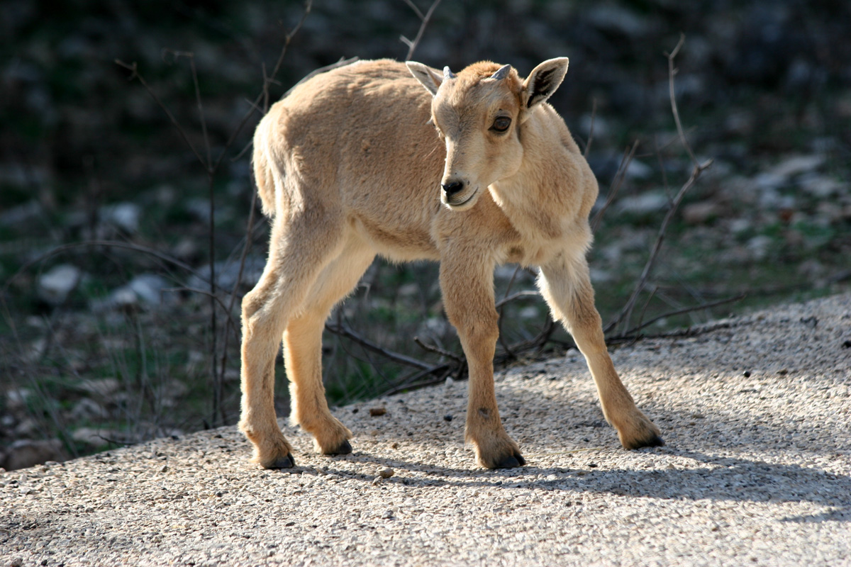 barbary sheep kid  natural