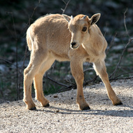 Barbary Sheep Kid, Natural Bridge Wildlife Ranch - Garden Ridge, Texas