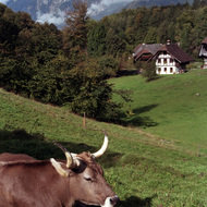 Cow on Hillside, Ballenberg Open Air Museum - Brienz, Switzerland