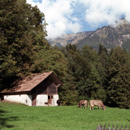 Cows Grazing, Ballenberg Open Air Museum - Brienz, Switzerland