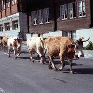 Cows Procession - Brienz, Switzerland
