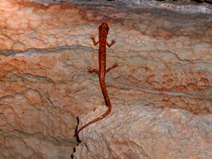 Thumbnail image ofEurycea lucifuga, a cave salamander.