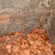 A Texas alligator lizard.