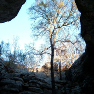 An oak tree in a cave opening.