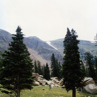 Evergreen trees in Yellowstone National Park.