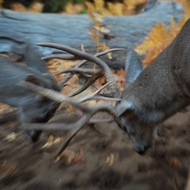 Yosemite, mule deer during the rut.