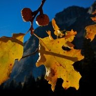 Yosemite fall color, backlit oak leaves.