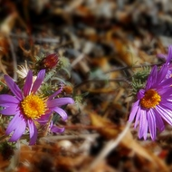 Asters along the June Lake Loop.