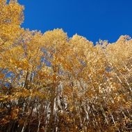 Yosemite, aspens in full fall color.