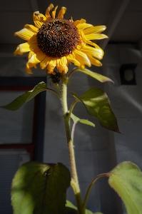 Thumbnail image ofLee Vining sunflower.