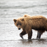Ursus arctos, coastal brown (grizzly) bear fishing for salmon.