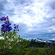 Lupinus arcticus wildflowers in bloom.