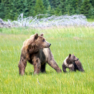 Ursus arctos, coastal brown (grizzly) bear sow and young cub.