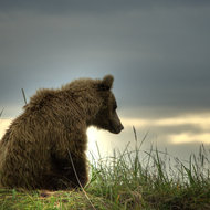 Ursus arctos, coastal brown (grizzly) bear 3 year old male enjoying the sunset.