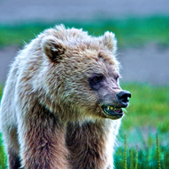 Ursus arctos, coastal brown (grizzly) bear female.