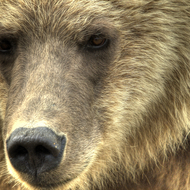 Ursus arctos, coastal brown (grizzly) bear sow.
