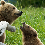 Ursus arctos, coastal brown (grizzly) bear sow and her cub.
