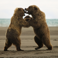 Ursus arctos, coastal brown (grizzly) bear males fighting.