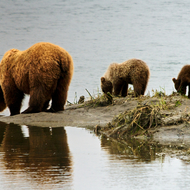 Ursus arctos, coastal brown (grizzly) bear sow and 2 young cubs.