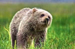 Thumbnail image ofUrsus arctos, coastal brown (grizzly) bear cub.