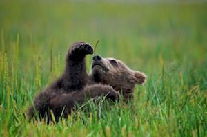 Thumbnail image ofUrsus arctos, coastal brown (grizzly) bear cub...
