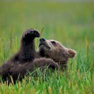 Ursus arctos, coastal brown (grizzly) bear cub stretching after a meal.
