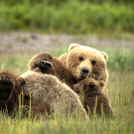 Ursus arctos, coastal brown (grizzly) bear sow nursing 2 cubs.